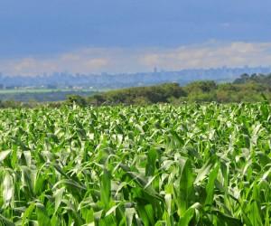 Preço ruim deve frustrar safrinha recorde de milho em MS