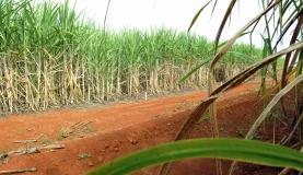 Início da safra de cana tem queda de 40% na quantidade de moagem