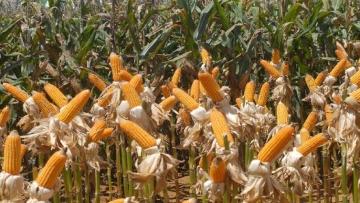 Produção e exportação de milho devem crescer na safra 2018/2019